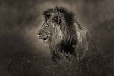 Black Maned Lion by Horst Klemm