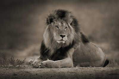 Relaxed Male Lion by Horst Klemm