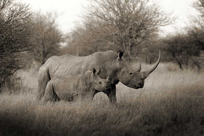White Rhino Mother with Baby by Horst Klemm