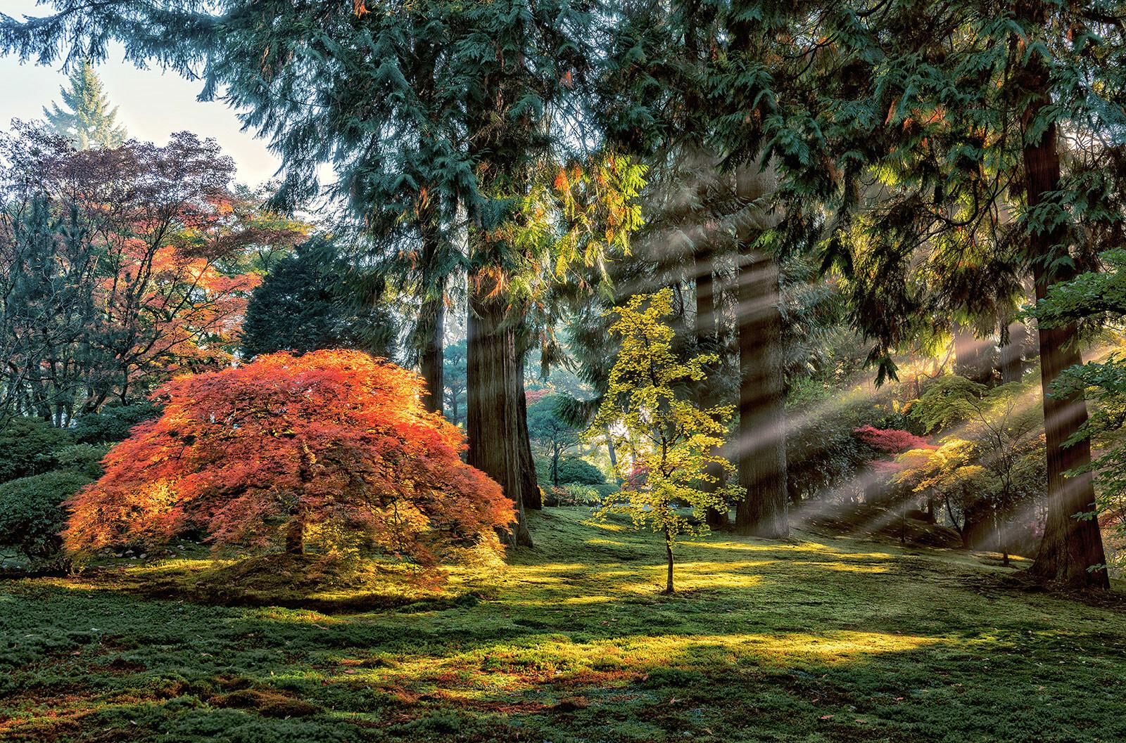Autumn Light in The Maples - Roman Johnston