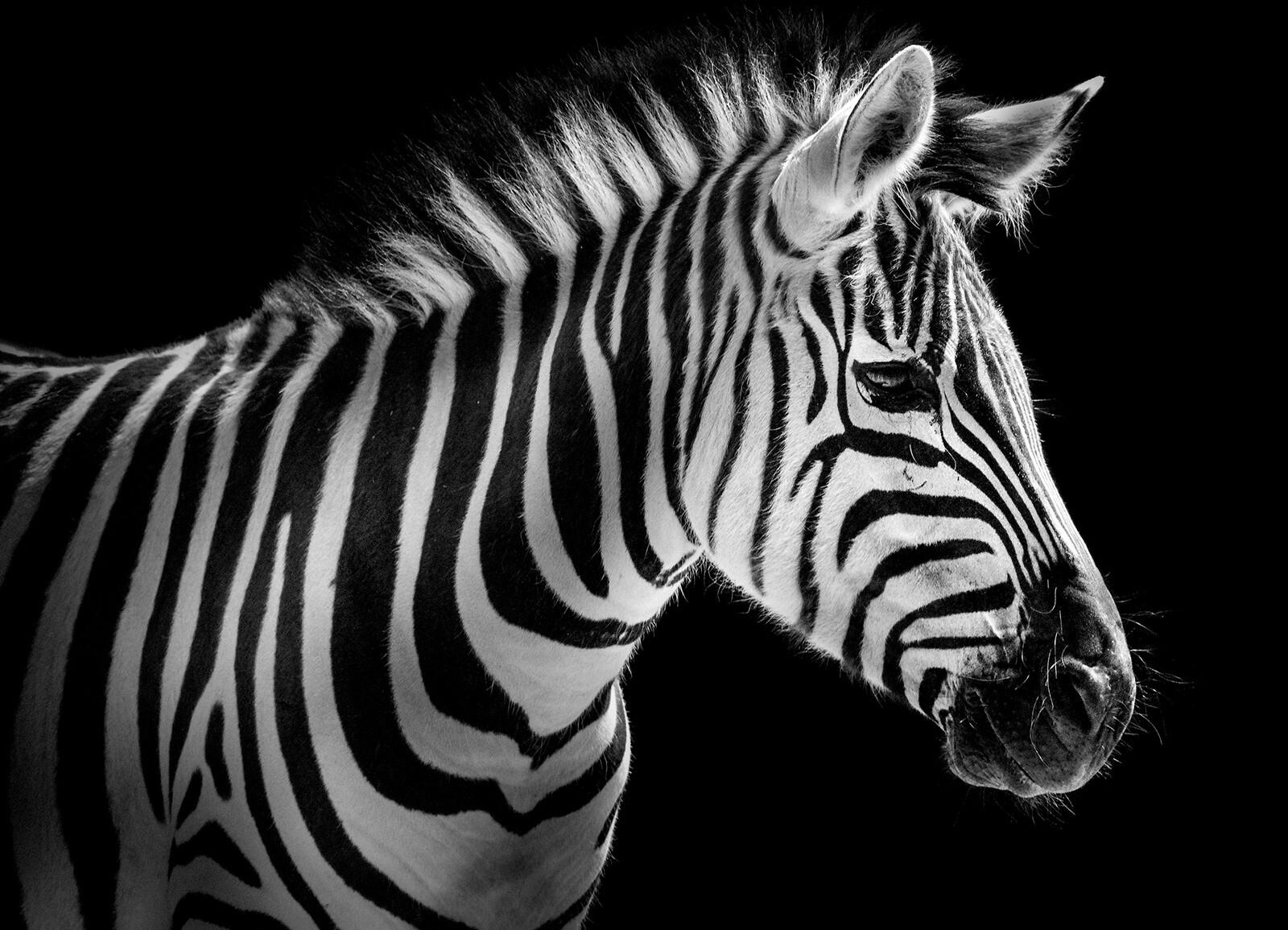 Zebra Portrait - Wolf Ademeit