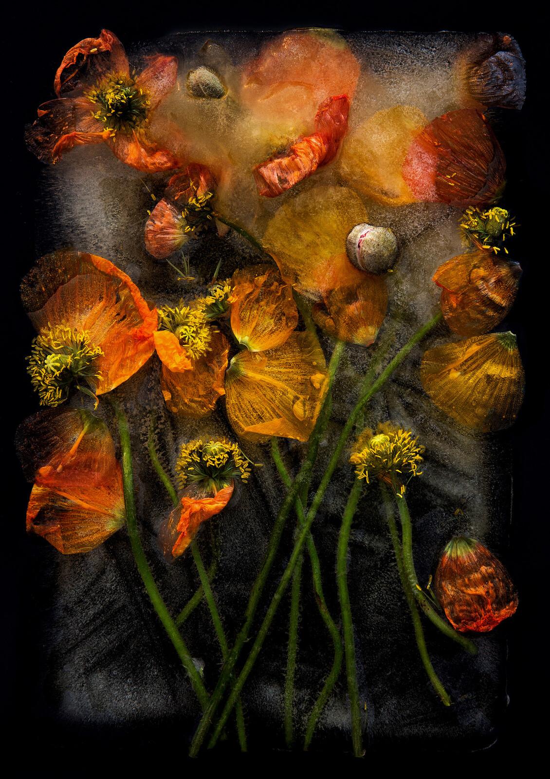 Poppies - Bruce Boyd