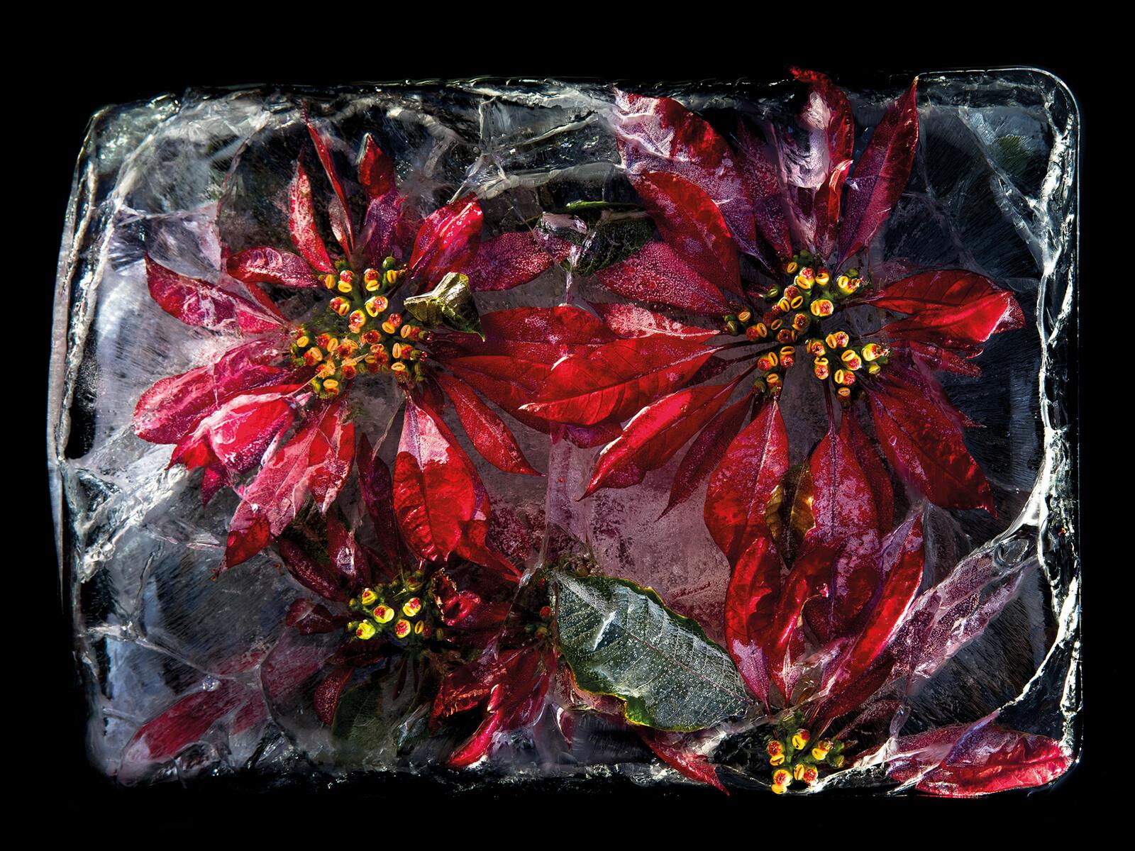Coral Tree - Bruce Boyd