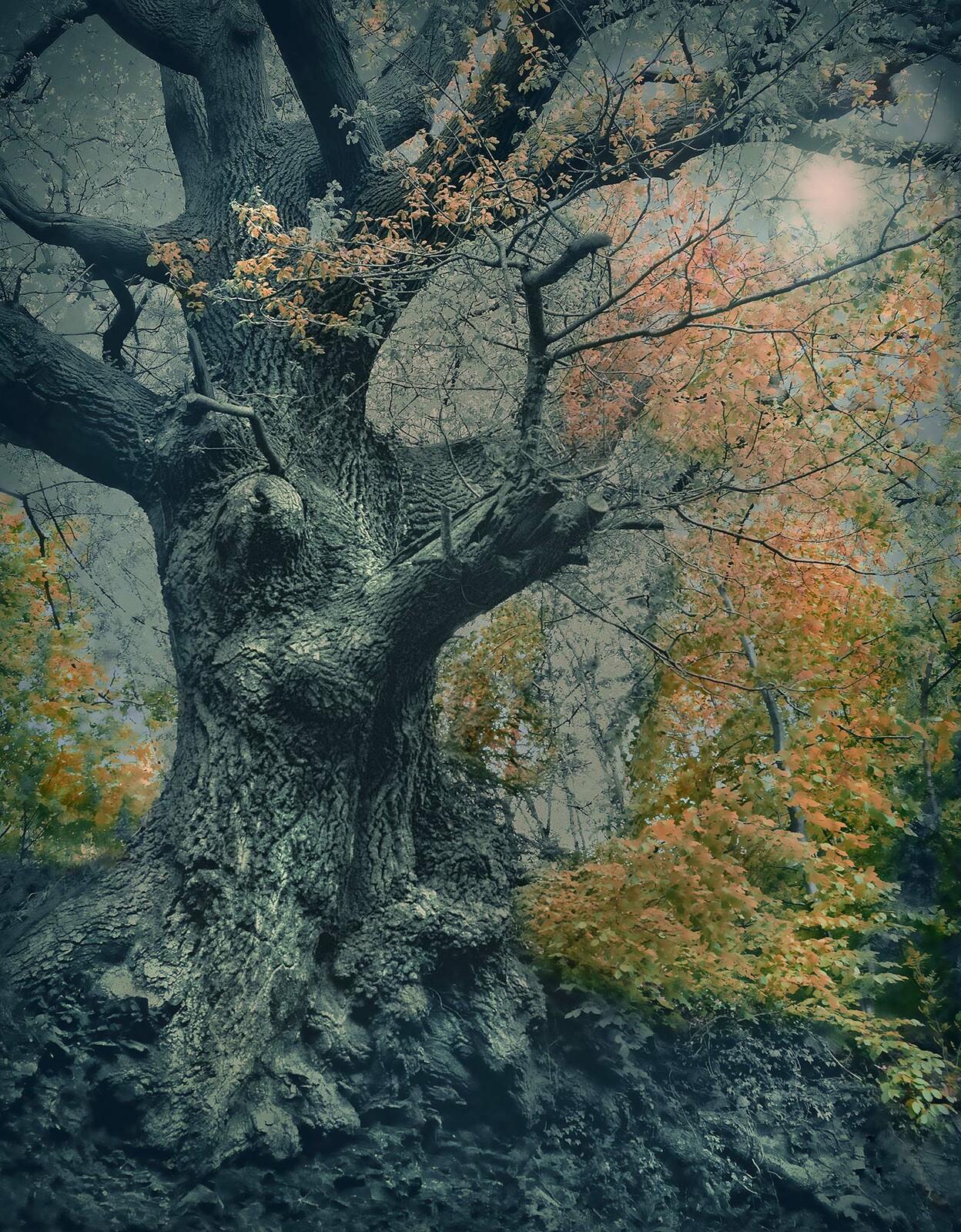 Ancient Oak - Barry Cawston