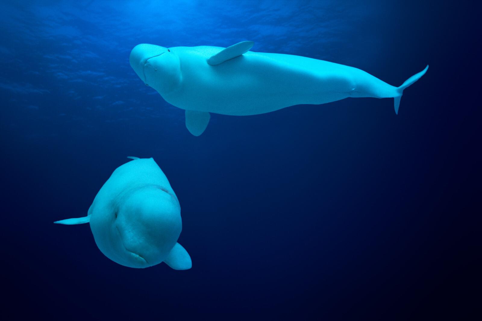 Beluga Whales, Delphinapterus leucas, Canada - David Fleetham