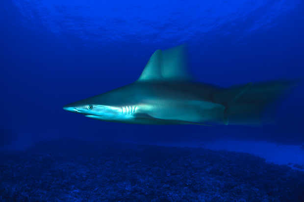 Grey Reef Shark, Carcharhinus Amblyrhynchos, Hawaii - David Fleetham