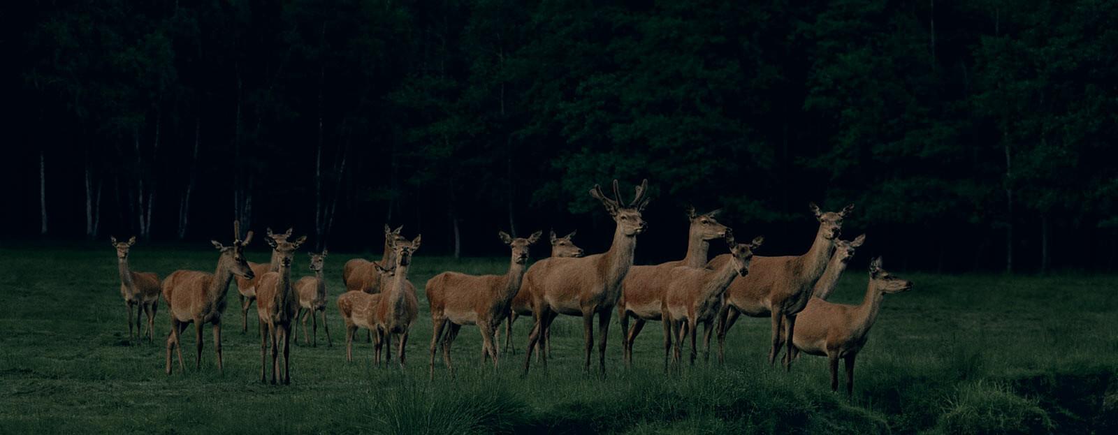 Pride of Deer #2 - Frank Stoeckel