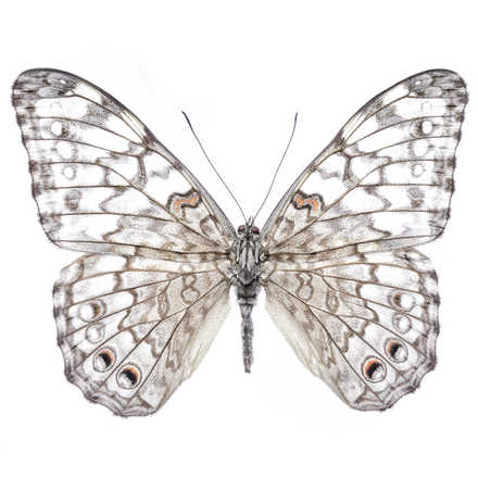 Butterfly VI - Heiko Hellwig