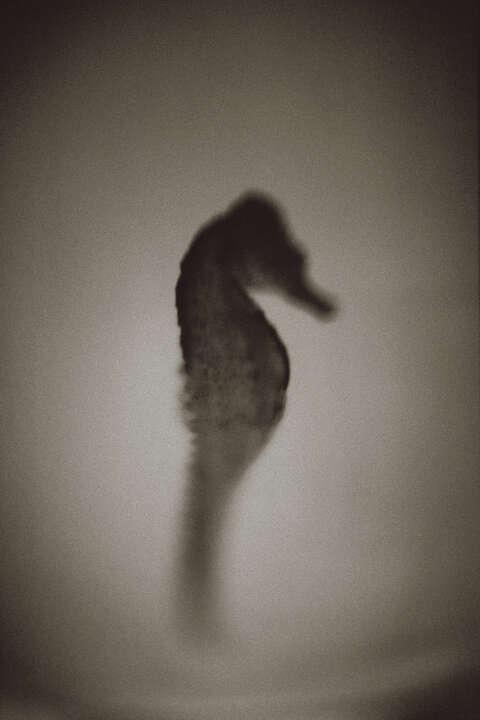 Seahorse von Henry Horenstein