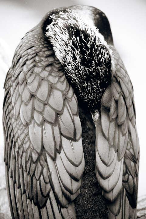 Great Cormorant von Henry Horenstein