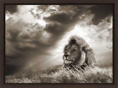 Lion in grass, Serengeti, Tanzania  by Horst Klemm