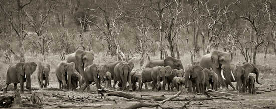 Elephant herd & logs