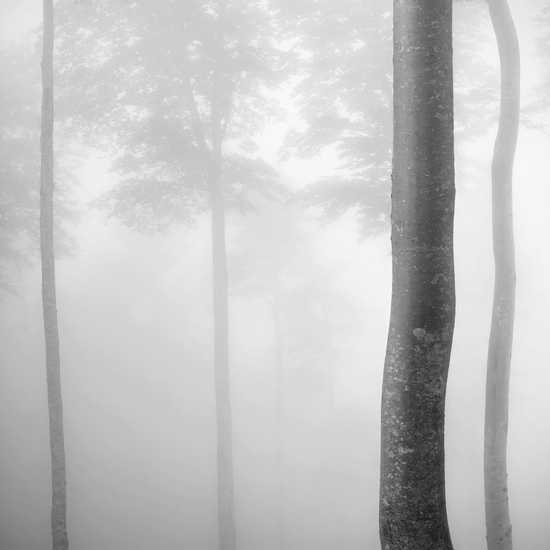Beech Tree Forest, Pyrenees, Study 2