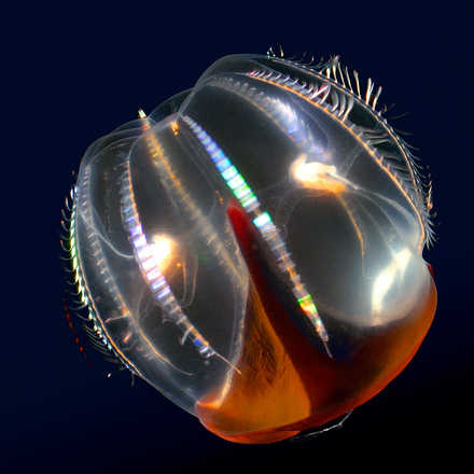 Hidden ocean 7 Cydippid ctenophore - Kevin  Raskoff