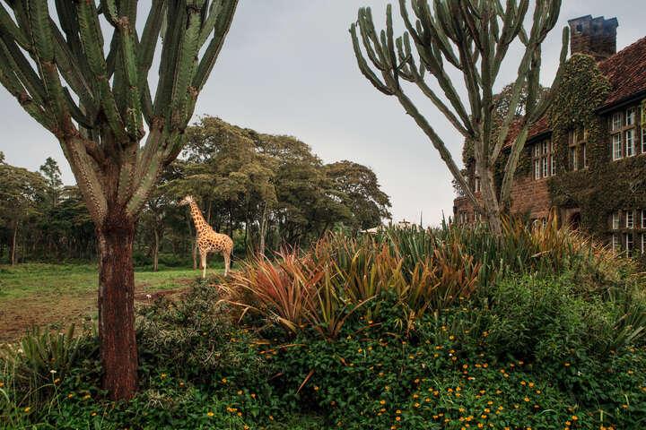 Giraffe Manor #14 von Klaus Thymann