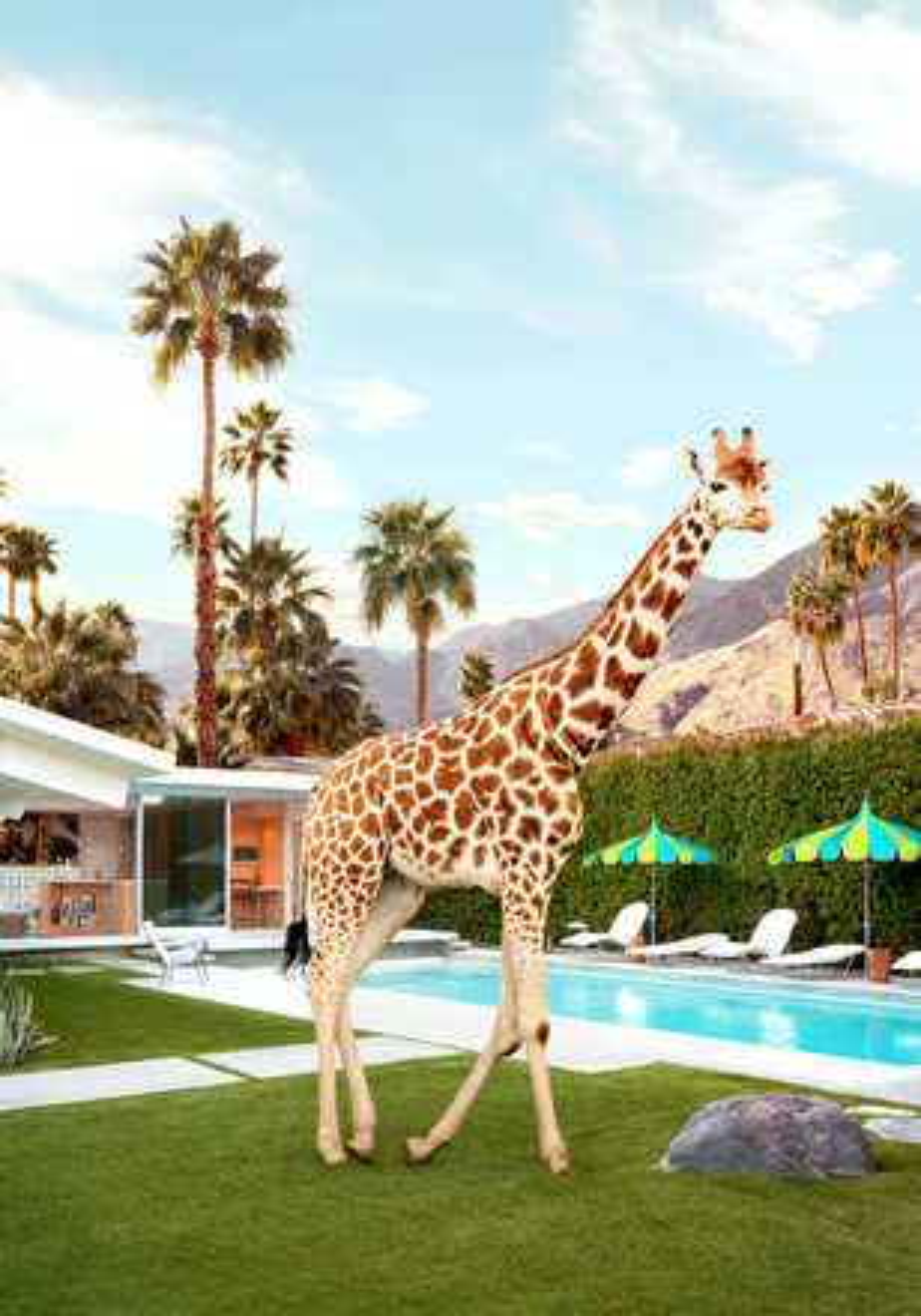 Pool Side Giraffe - Paul Fuentes