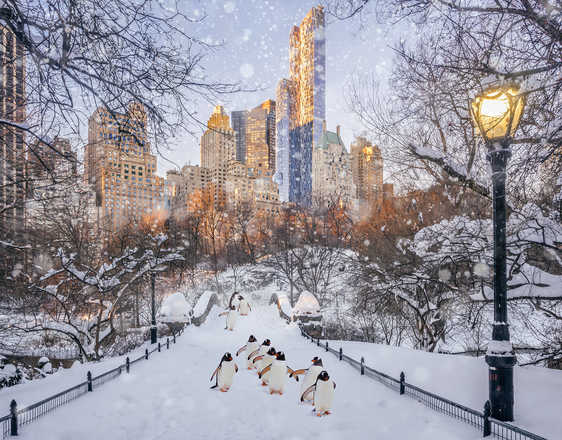 Central Park Penguins - Robert Jahns