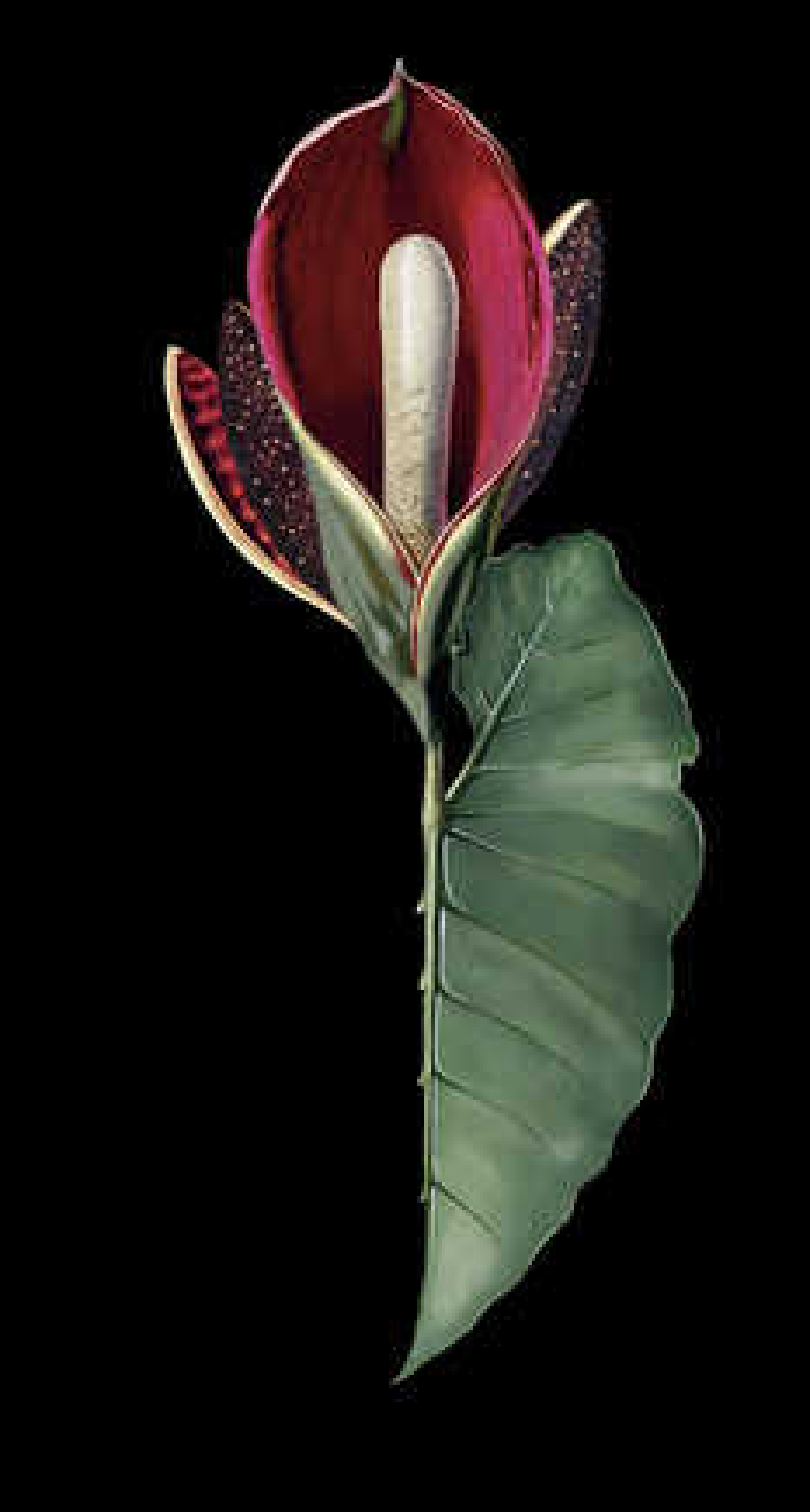 Rubidendron - Rive Roshan