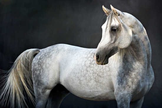 Arabian Stallion II