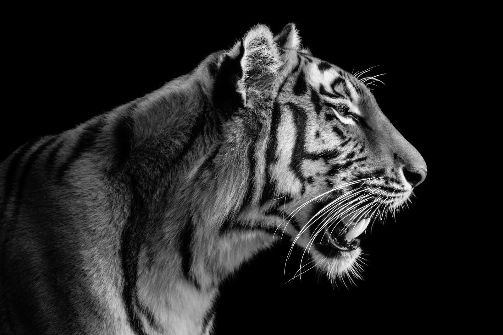 Tigress Portrait - Wolf Ademeit