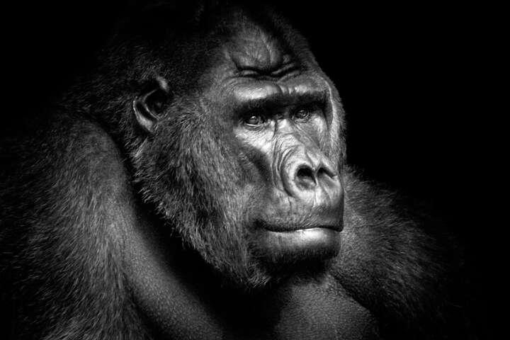 Gorilla Portrait von Wolf Ademeit