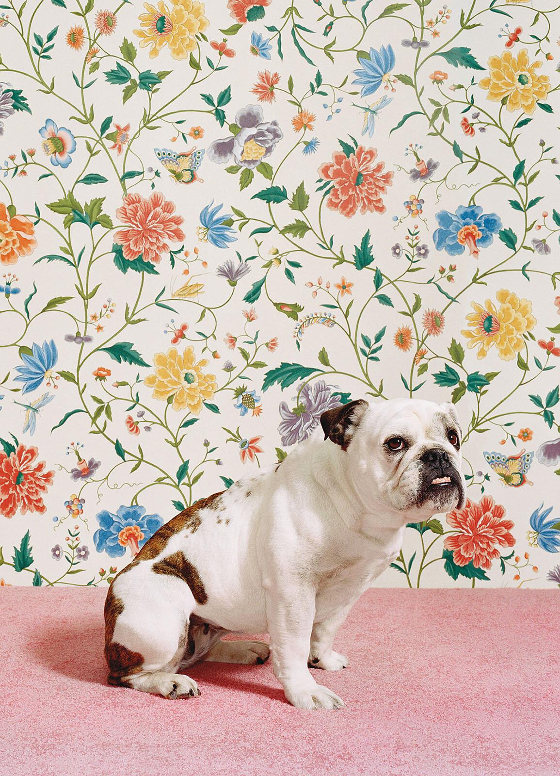 Bulldog 1 - Catherine Ledner