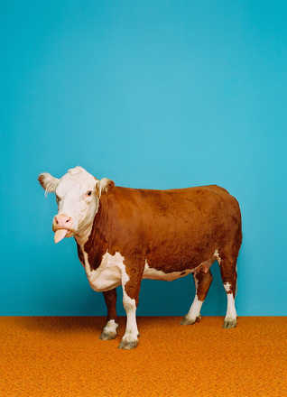 Cow 1 - Catherine Ledner