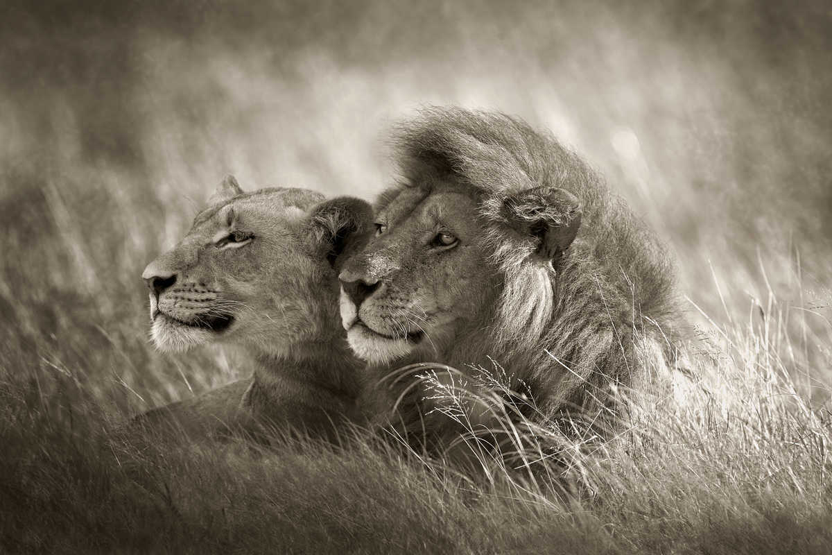 Lion couple horst klemm pictures photography photo art online at lumas