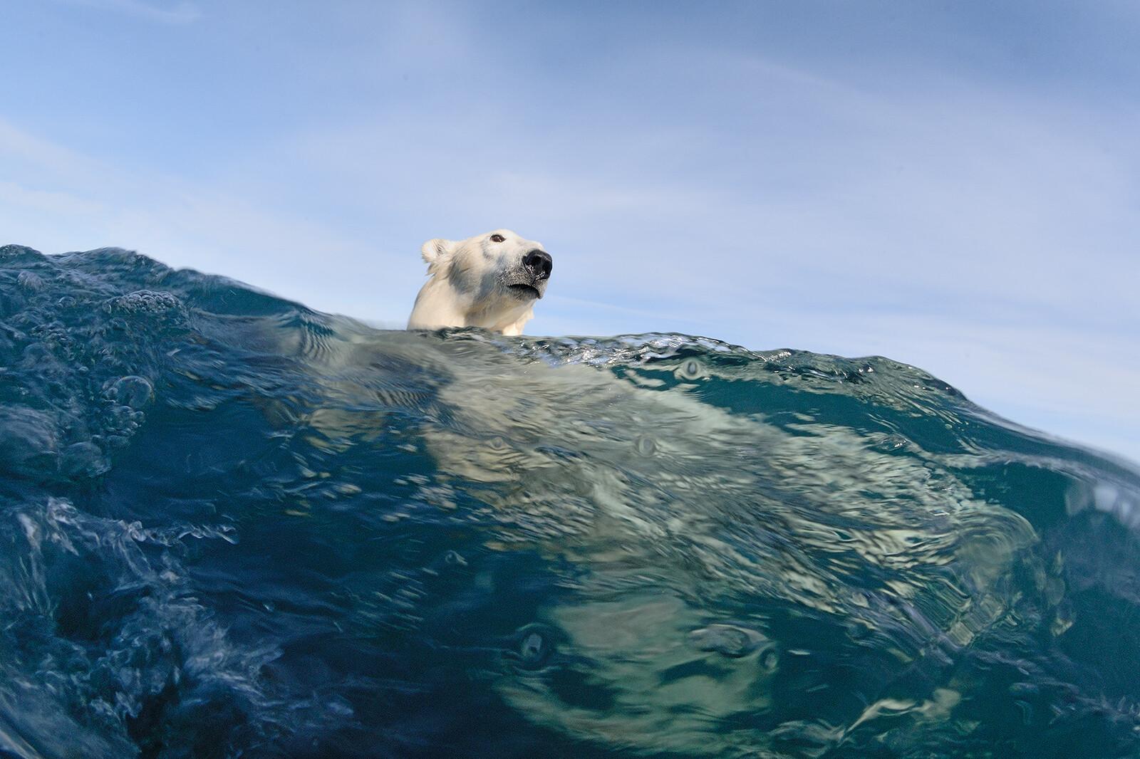 Polar Bear Reflections - Joe Bunni