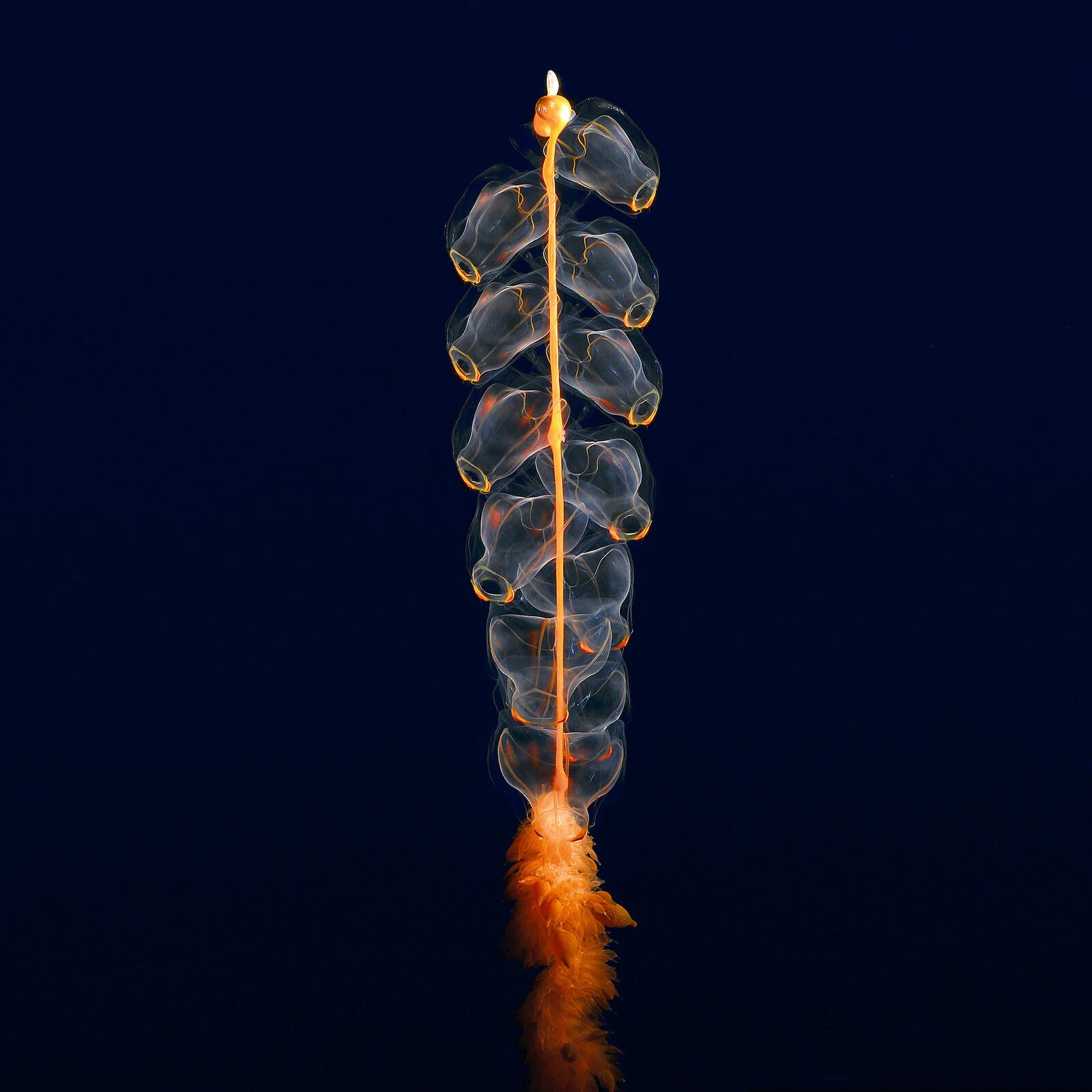 Hidden ocean 8 Marrus orthocanna - Kevin  Raskoff