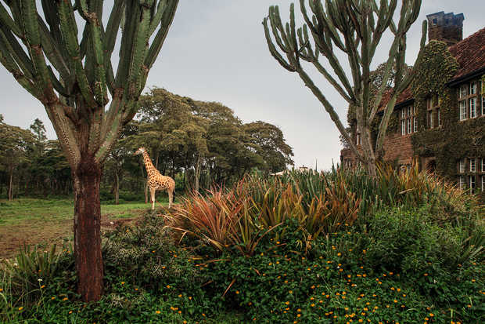 Giraffe Manor #14 - Klaus Thymann