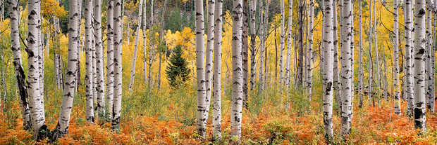 Rusty Ferns and Autumn Aspens - Steven Friedman