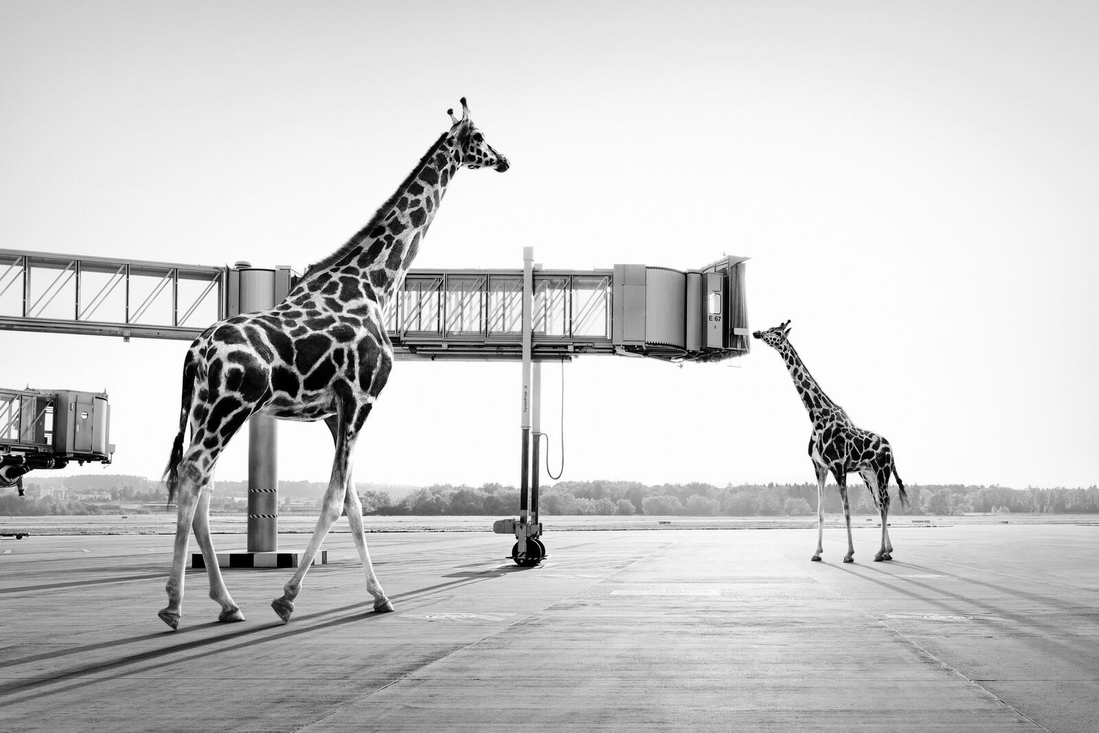 Giraffes - Tom Nagy