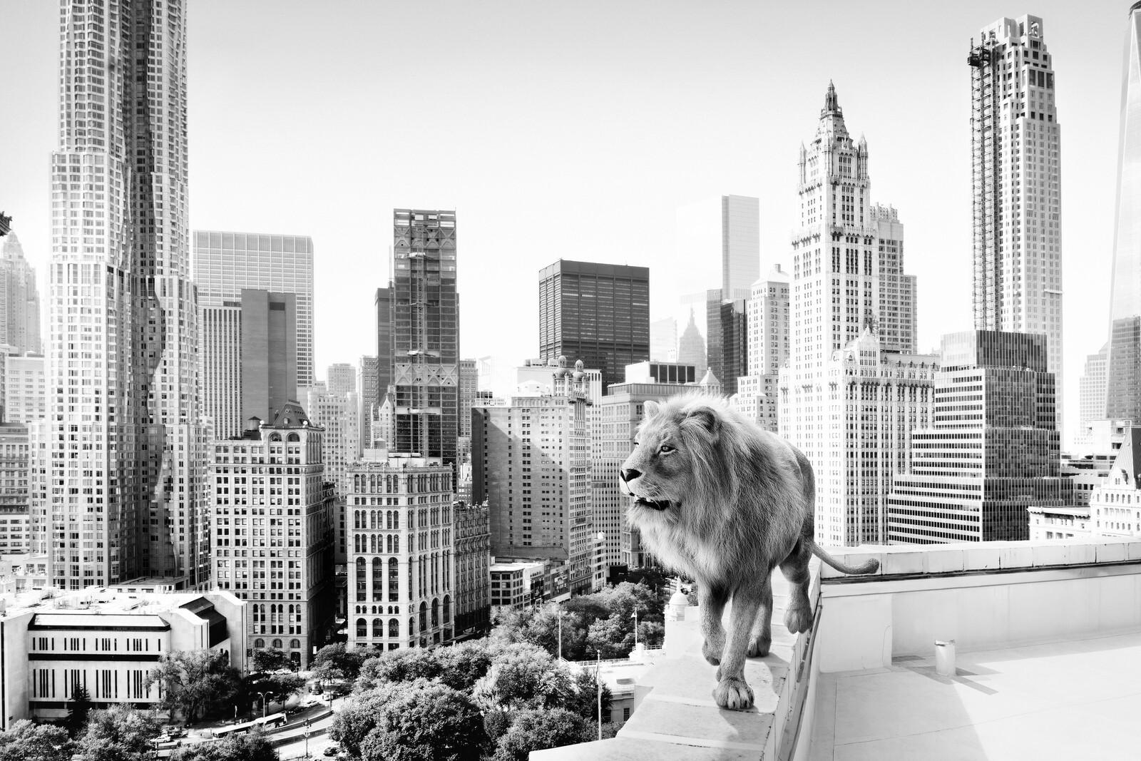 Lion - Tom Nagy