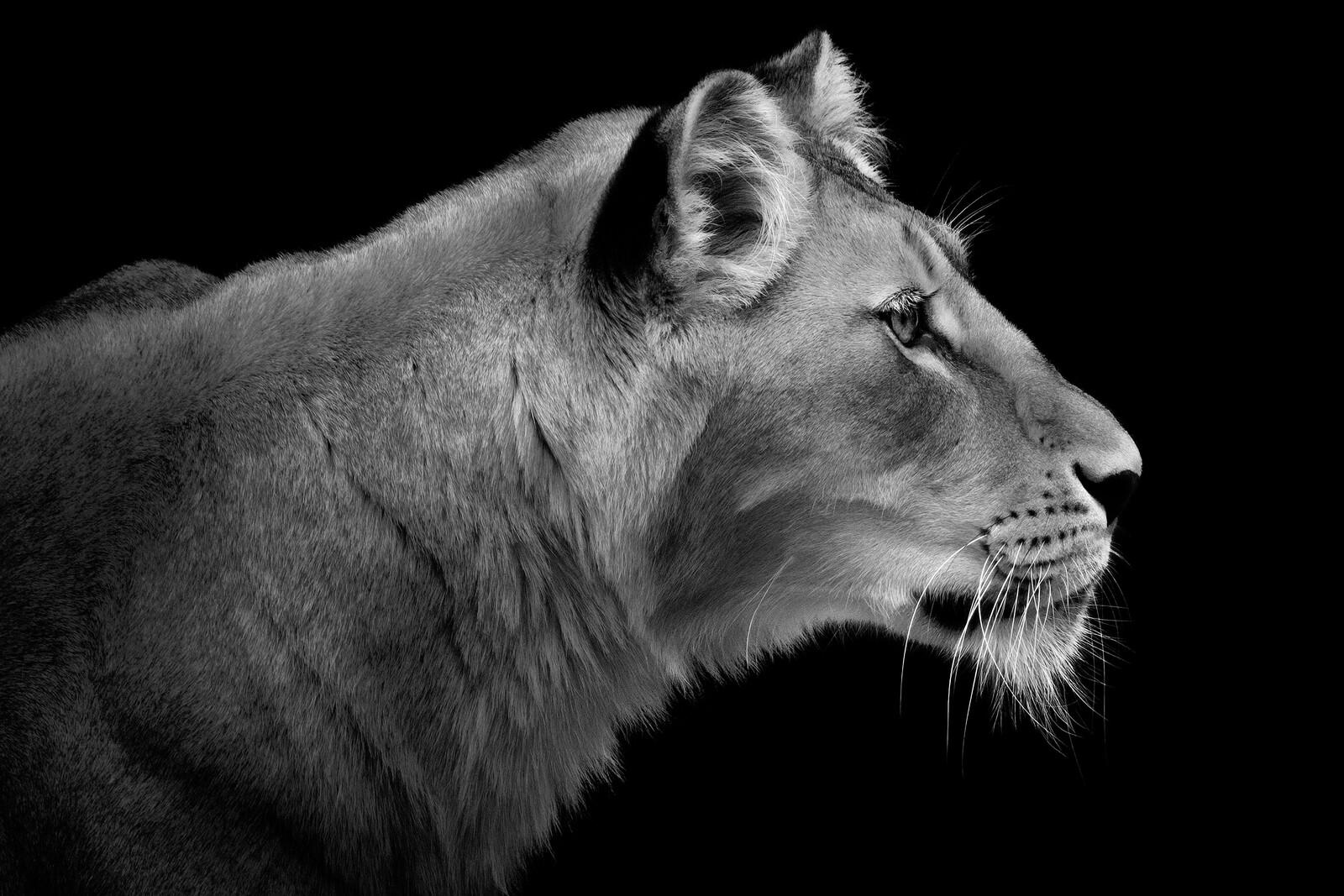 Lioness Portrait - Wolf Ademeit