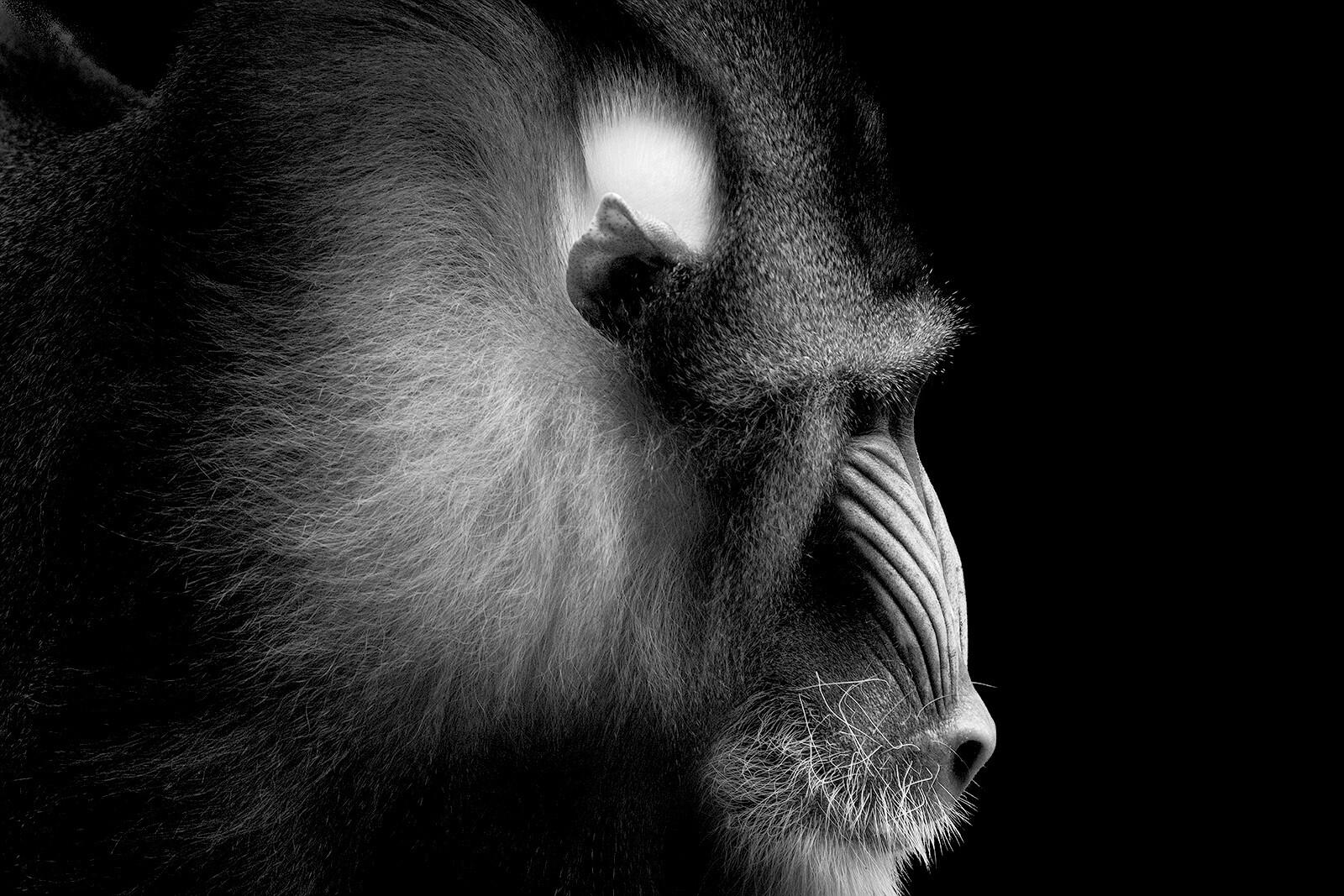 Mandrill Portrait - Wolf Ademeit